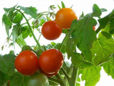 Голландские сорта помидор для открытого грунта
