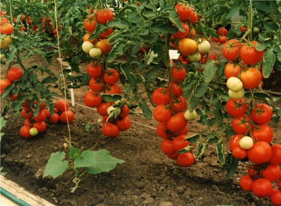 Голландские сорта помидор - гибрид Айвенго F1