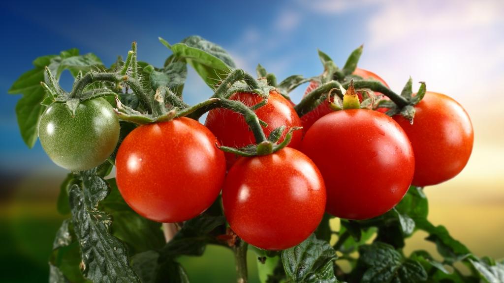 Голландские сорта помидор - какой сорт выбрать для дачного участка
