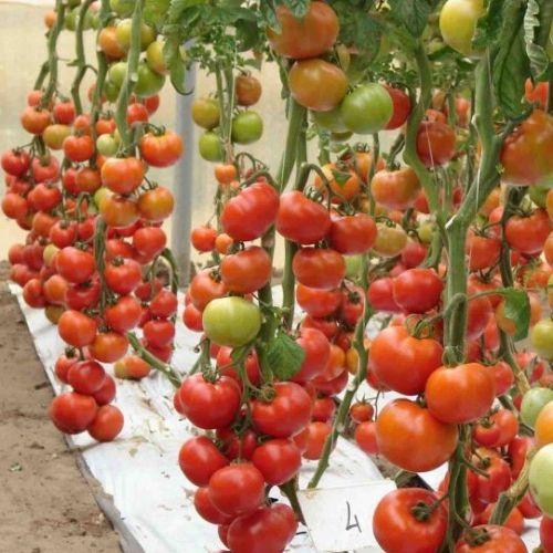 Голландские сорта помидор - томат Белле F1