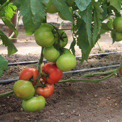Голландские сорта помидор - томат Берберана F1