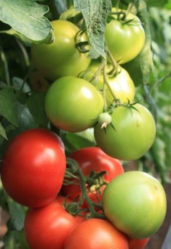 Голландские сорта помидор - томат Мондиаль F1