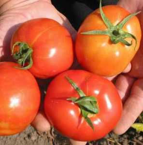 Голландские сорта помидор - томат Султан F1