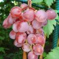 Гроздь сочного винограда Виктория