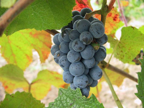 Гроздь ягод винограда Амурский