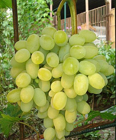 Гроздь ягод винограда Августин