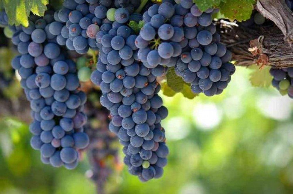 Гроздья сочного винограда Зилга