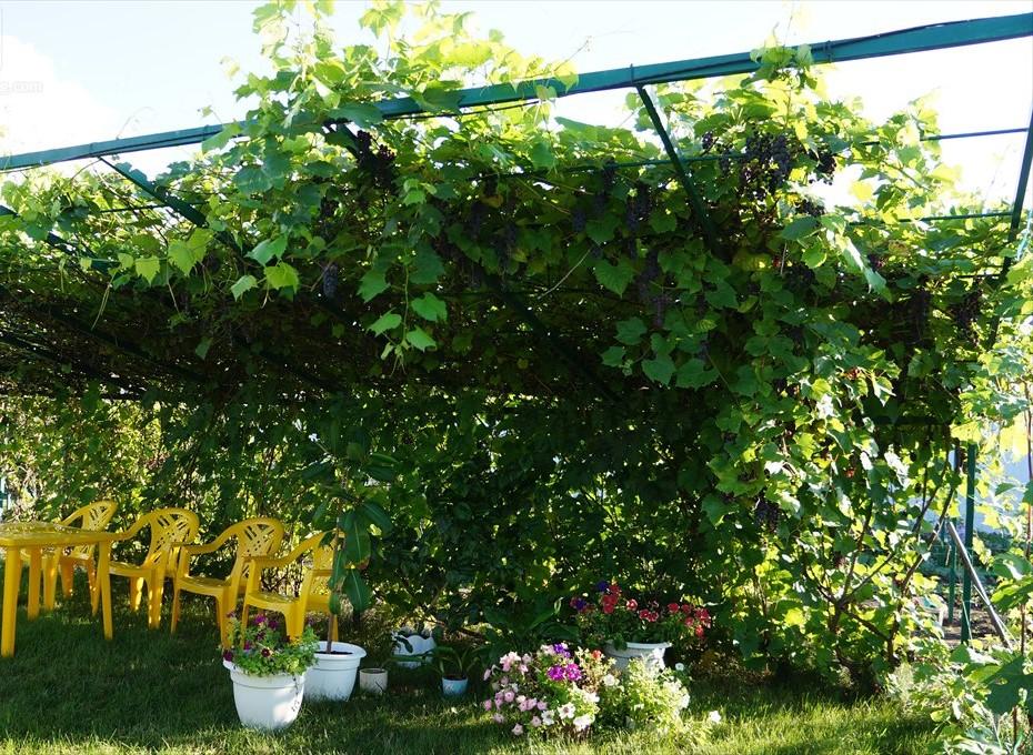 Использование винограда Альфа для декора ландшафта