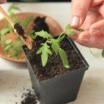 Как пикировать рассаду помидор