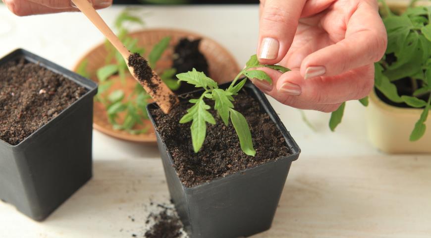 Как пикировать рассаду помидор в домашних условиях