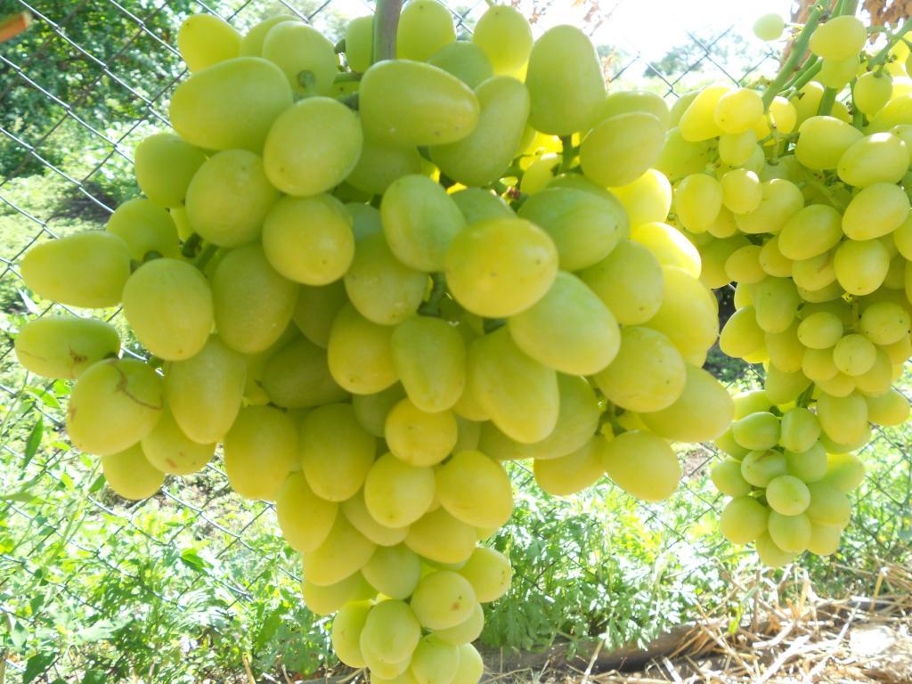 Как получить высокий урожай виноград Августин на даче