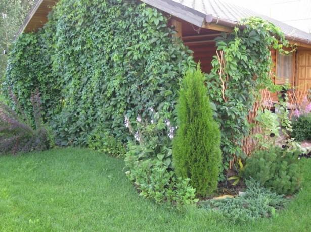 Как посадить декоративный виноград на даче