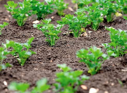 Как посадить корневую петрушку под зиму