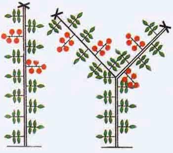 Как правильно пасынковать помидоры - формировка детерминантных томатов в 1 и 2 стебля