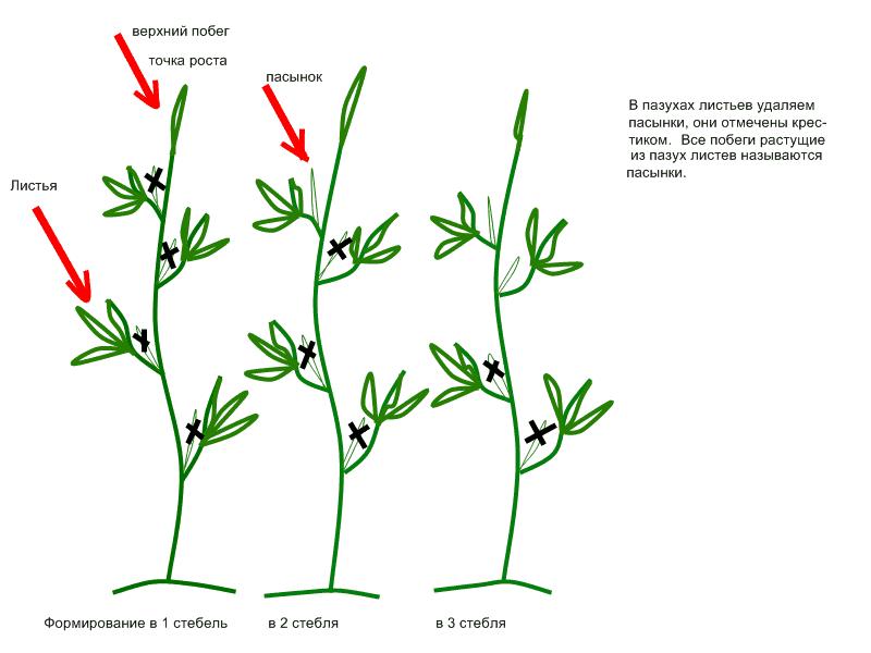 Как правильно пасынковать помидоры - варианты формирования куста томатов