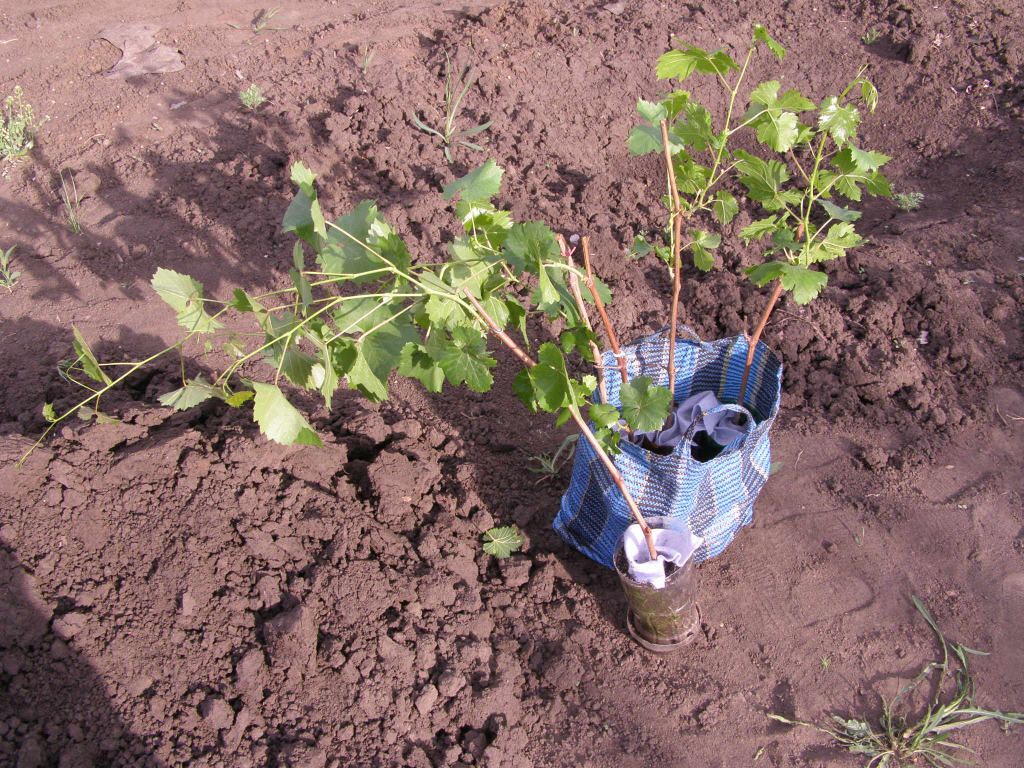 Как правильно посадить чубуки винограда весной - подготовительные работы