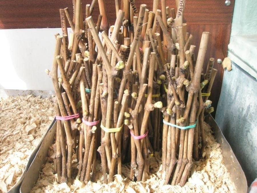 Как правильно посадить чубуки винограда весной - посадка вегетирующими саженцами