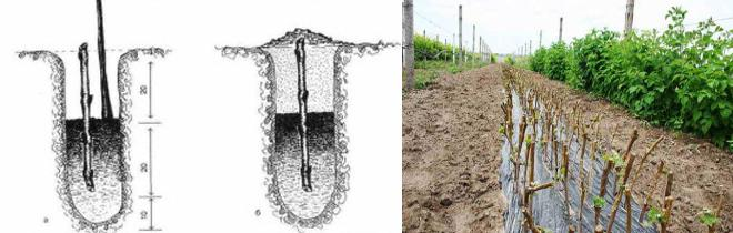 Как правильно посадить чубуки винограда весной - схема посадки