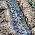 Как правильно посадить чубуки винограда весной в открытый грунт