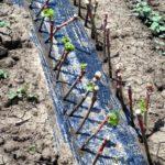 Как правильно посадить чубуки винограда
