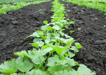 Как правильно размежевать грядку под посев корневой петрушки