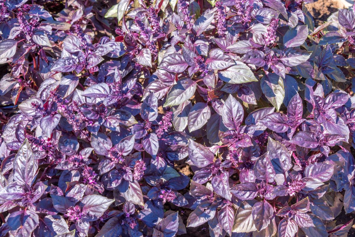 Как правильно вырастить базилик из семян своими руками