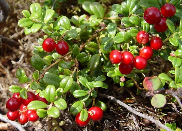 Как растет брусника - характеристики растения