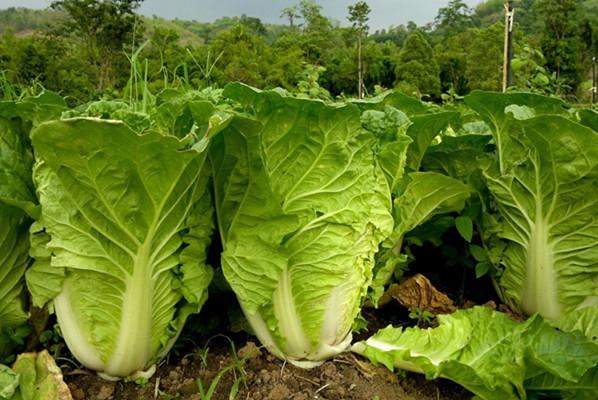 Как самостоятельно культивировать полезный овощ китайской капусты на своем огороде