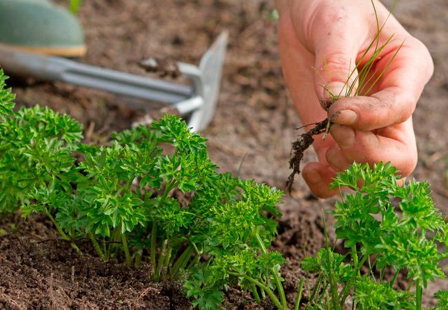 Как самостоятельно вырастить корневую петрушку на даче