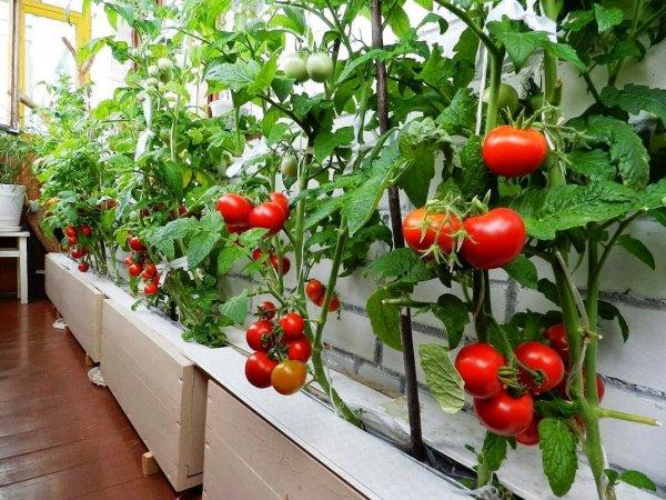 Как собрать семена помидоров черри в домашних