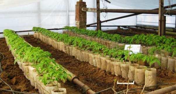 Как самостоятельно вырастить помидоры в теплице из поликарбоната