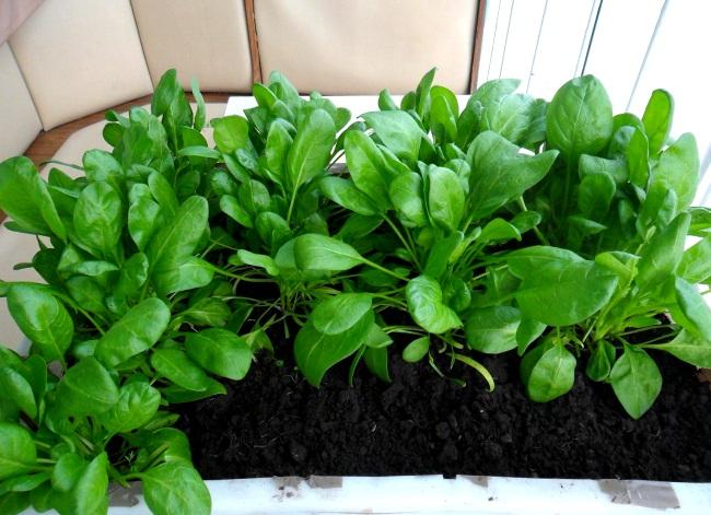 Как самостоятельно вырастить шпинат на подоконнике - полезные советы