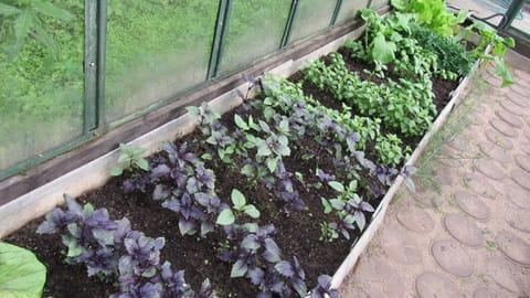 Как сажать базилик на рассаду - подготовка емкостей и почвы для посадки