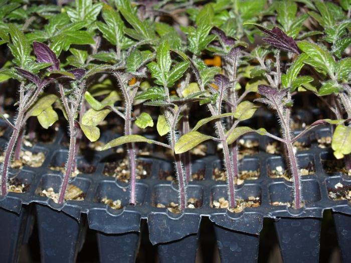 Как сажать помидоры на рассаду для высадки в открытый грунт