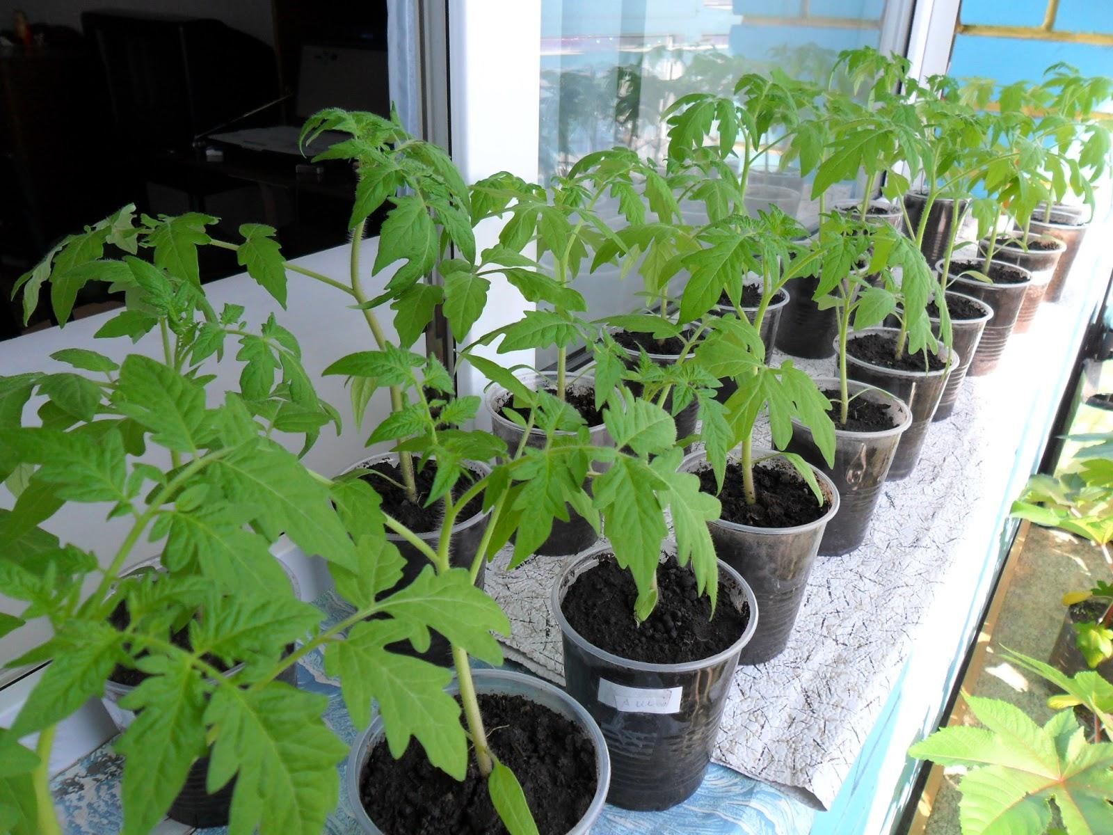 Как сажать помидоры на рассаду - полезная информация для огородника