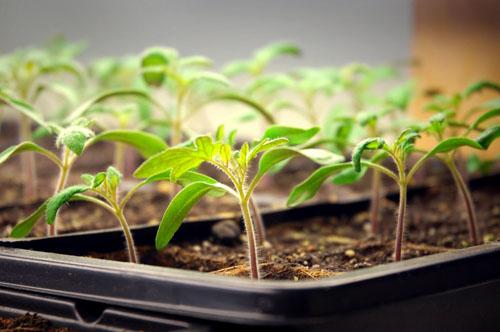 Как сажать помидоры на рассаду - предварительная подготовка перед посадочными работами