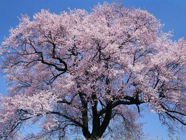 Как цветет абрикос краснощекий
