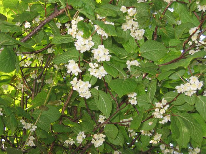 Как цветет лиана актинидия коломикта