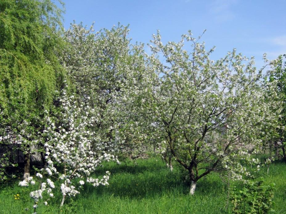 Как цветет вишня Шоколадница красота дачного участка