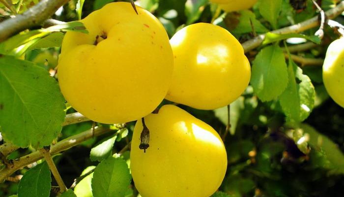 Как выглядят созревшие плоды айвы