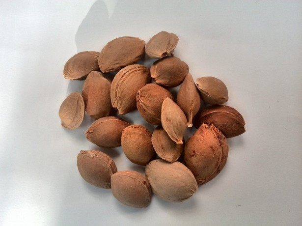 Как вырастить абрикос из косточки - подготовка косточки и почвы, высадка в грунт