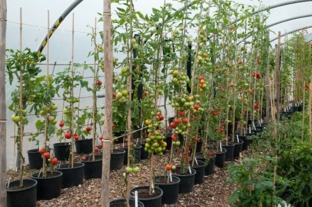 Как вырастить детерминантные и индетерминантные сорта помидор в теплице из поликарбоната