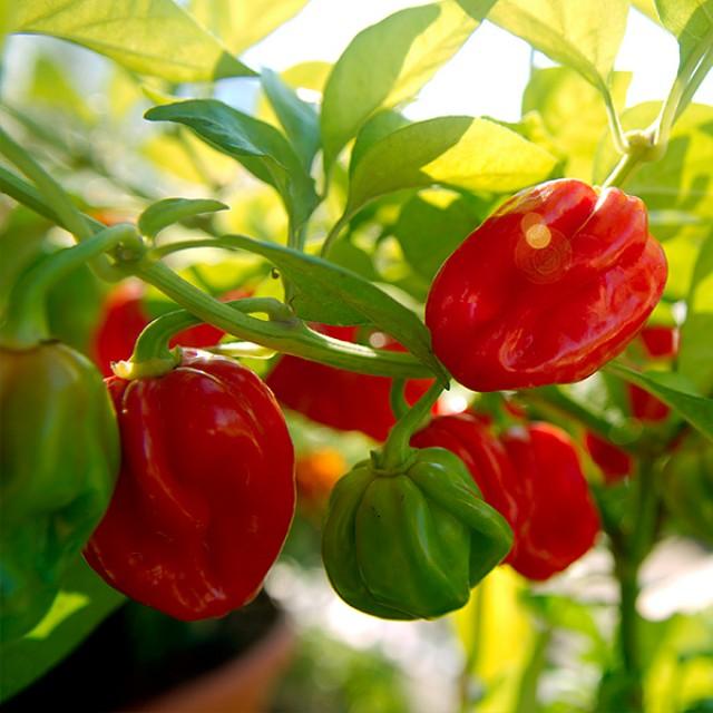 Как вырастить острый овощ перец Хабанеро на даче своими руками