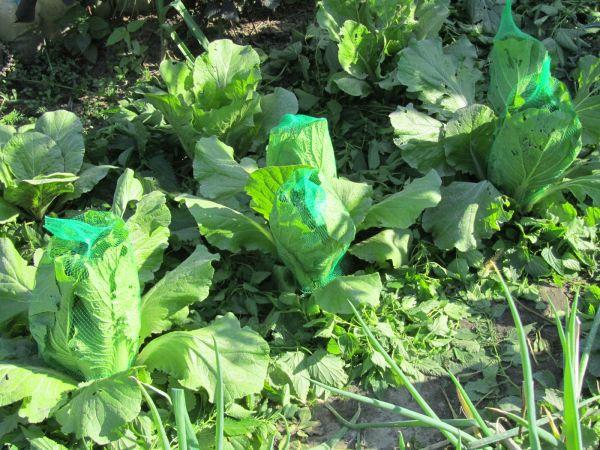 Как вырастить пекинскую капусту своими руками