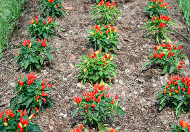 Как вырастить перец чили на даче в открытом грунте