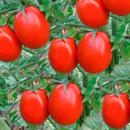 Как вырастить помидоры новичок на своем огороде