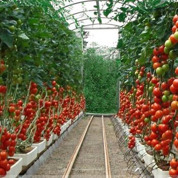 Как вырастить помидоры в теплице из поликарбоната своими руками