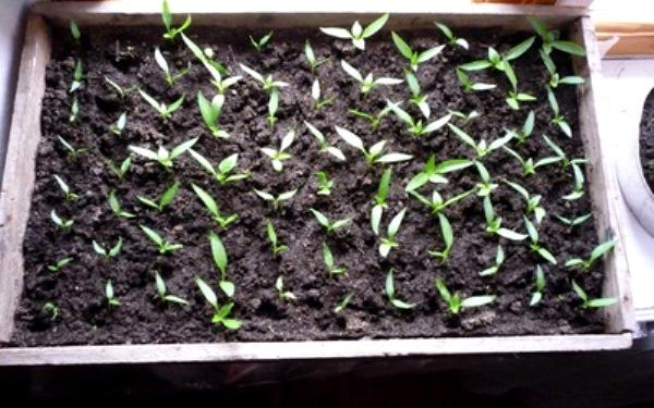 Как вырастить рассаду сладкого перца в домашних условиях