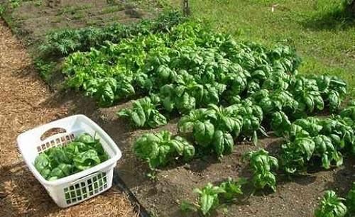 Как вырастить шпинат из семян на дачном участке своими руками