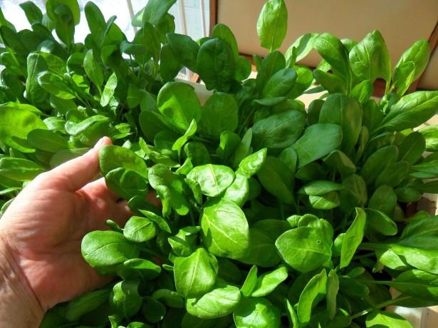 Как вырастить шпинат на подоконнике дома